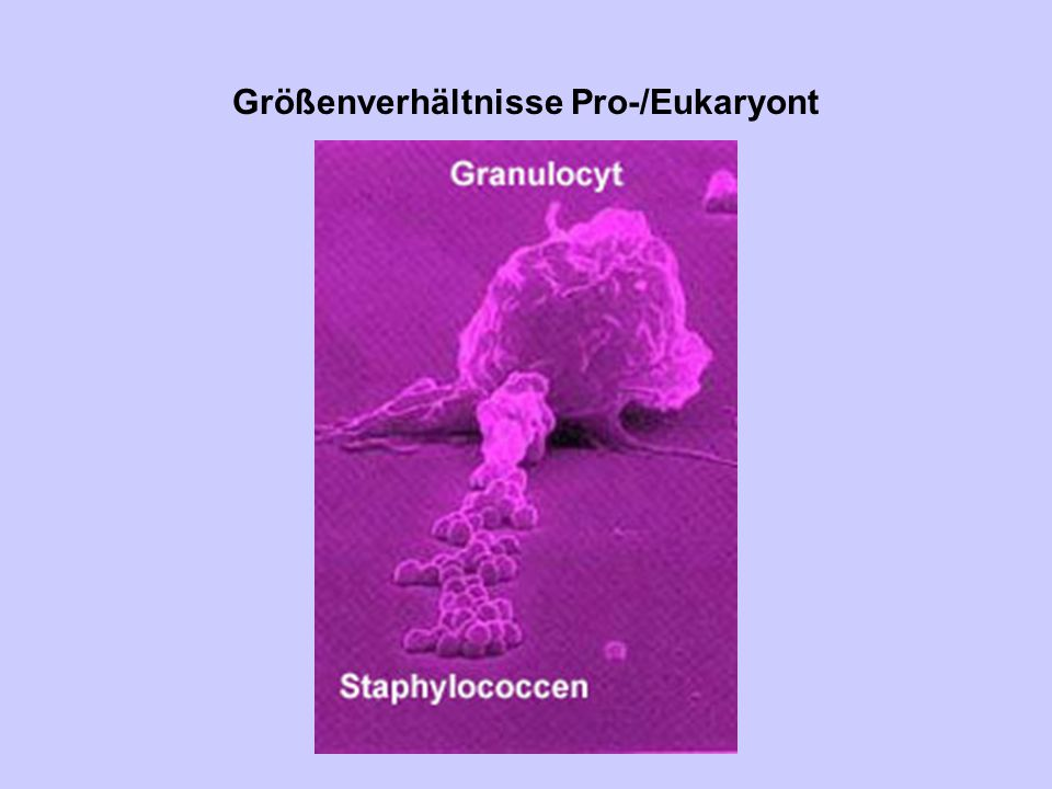 Größenverhältnisse Pro-/Eukaryont