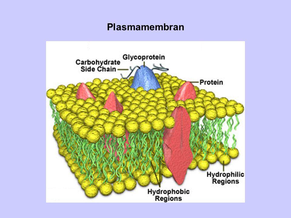 Plasmamembran