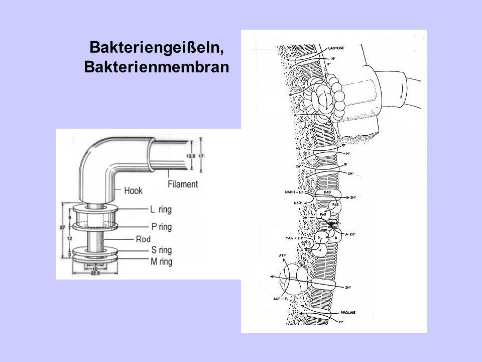 Bakteriengeißeln, Bakterienmembran