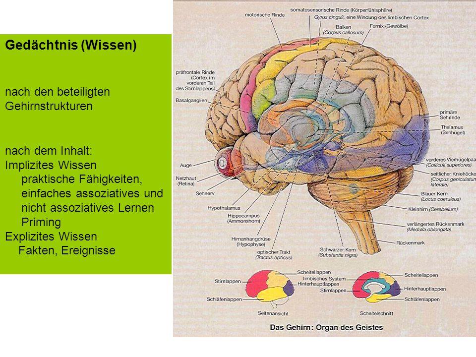 Im Gehirn haben viele Fähigkeiten ihren Ort Gedächtnis (Wissen)