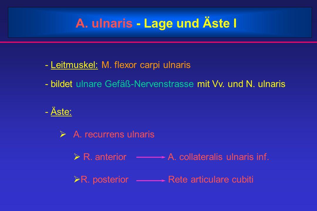 A. ulnaris - Lage und Äste I