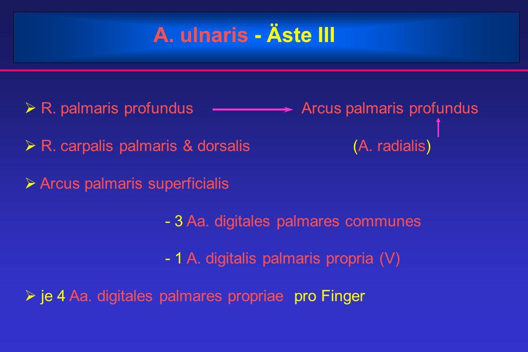 A. ulnaris - Äste III R. palmaris profundus Arcus palmaris profundus