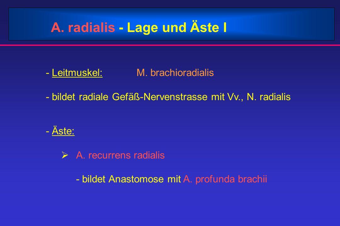 A. radialis - Lage und Äste I