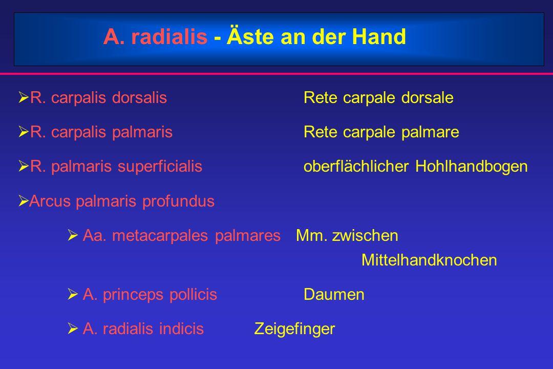A. radialis - Äste an der Hand