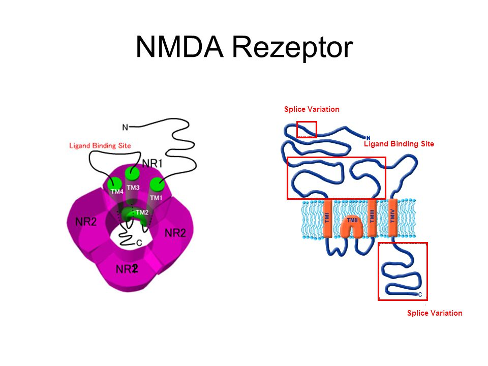 NMDA Rezeptor Splice Variation 2 Ligand Binding Site Splice Variation