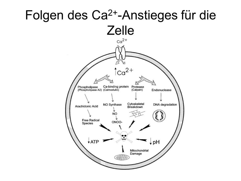 Folgen des Ca2+-Anstieges für die Zelle