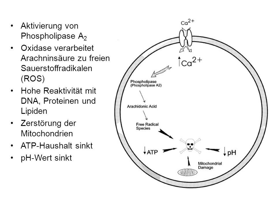 Aktivierung von Phospholipase A2