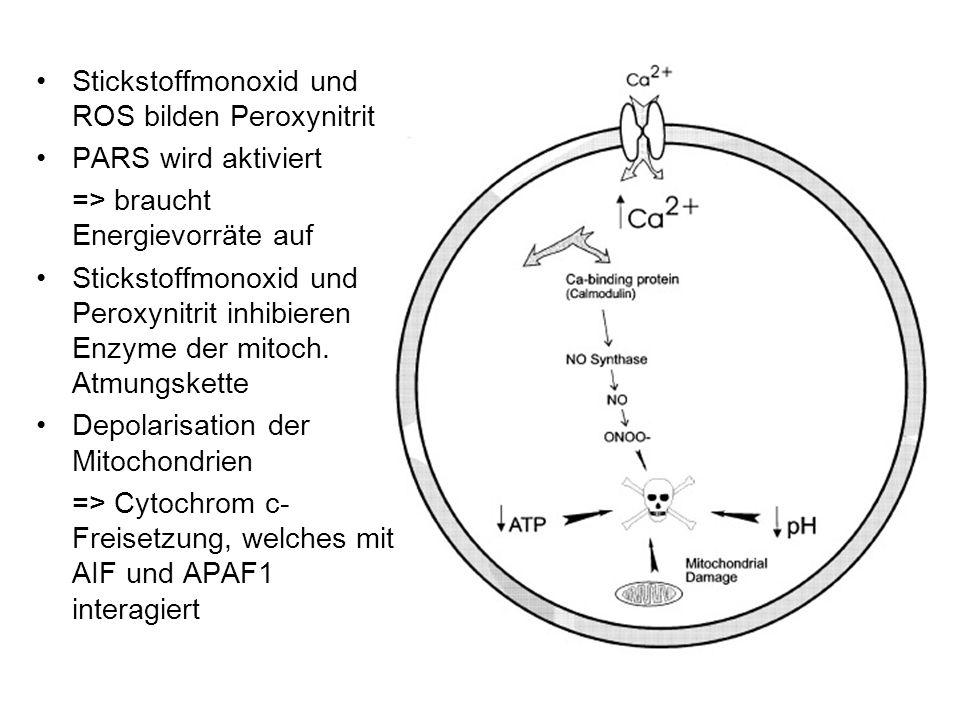 Stickstoffmonoxid und ROS bilden Peroxynitrit