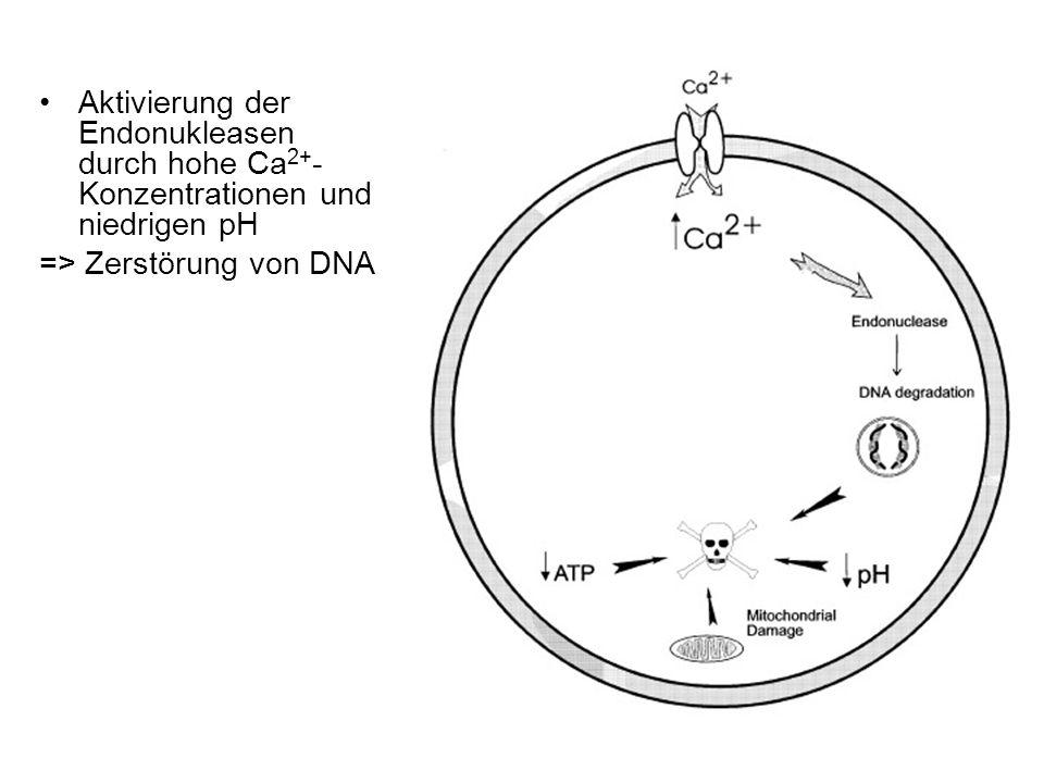Aktivierung der Endonukleasen durch hohe Ca2+-Konzentrationen und niedrigen pH