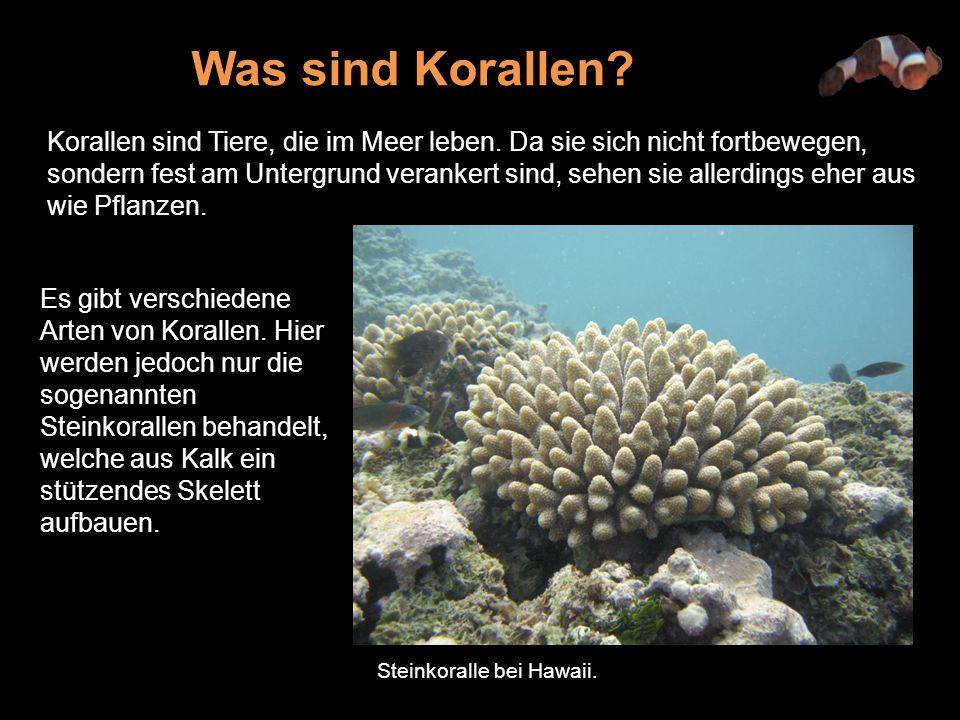 Was sind Korallen
