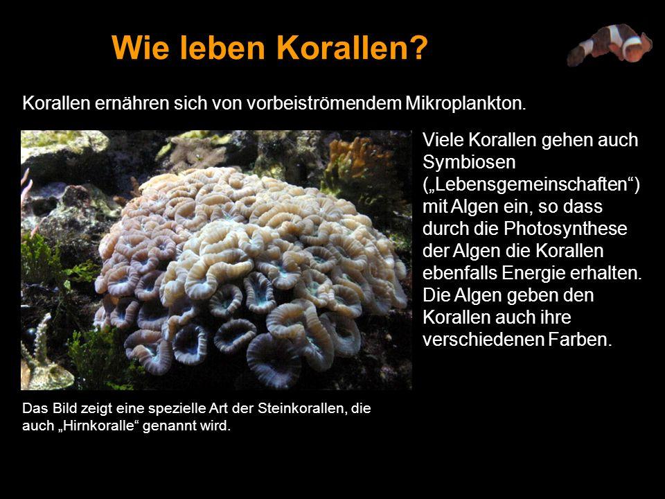 Wie leben Korallen Korallen ernähren sich von vorbeiströmendem Mikroplankton.