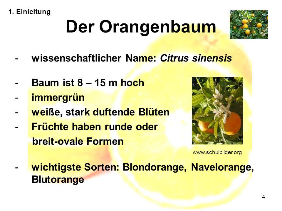 Der Orangenbaum wissenschaftlicher Name: Citrus sinensis