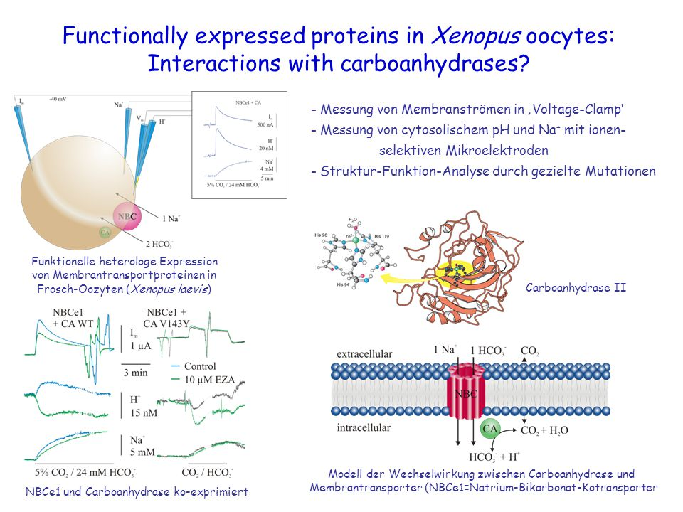 Functionally expressed proteins in Xenopus oocytes: Interactions with carboanhydrases