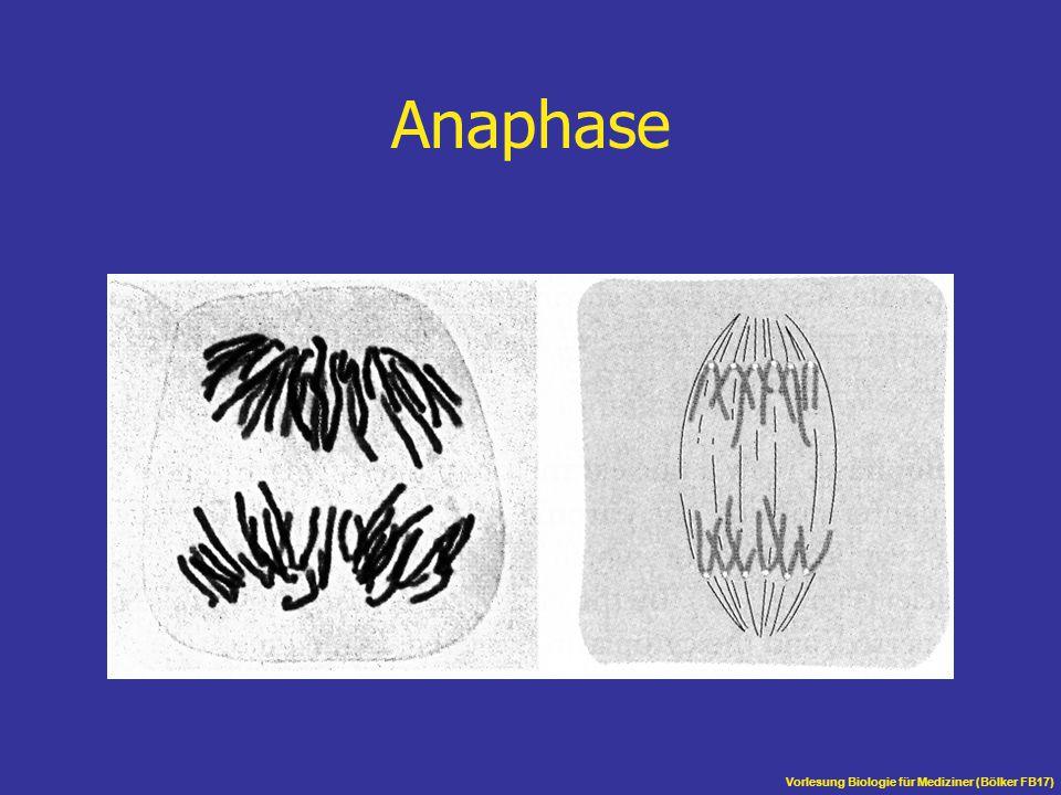 Anaphase Vorlesung Biologie für Mediziner (Bölker FB17)