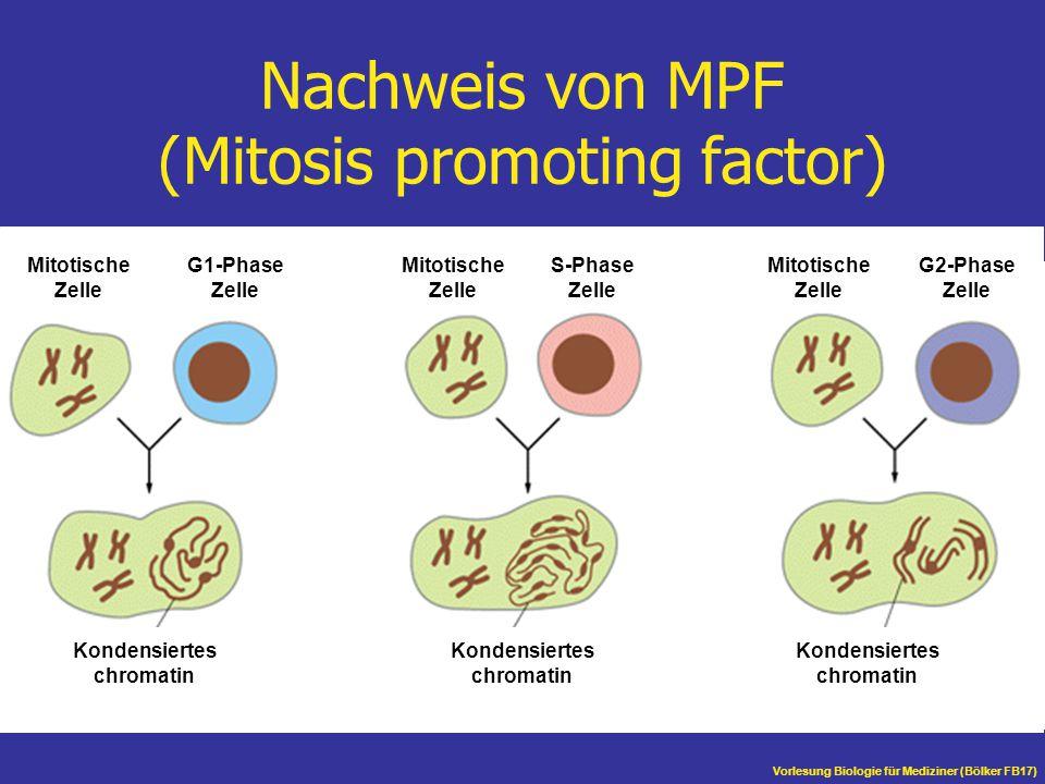 Nachweis von MPF (Mitosis promoting factor)