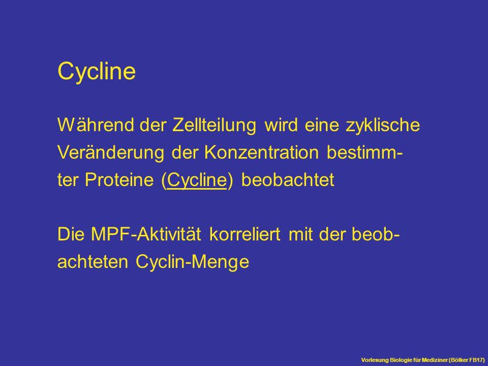 Cycline Während der Zellteilung wird eine zyklische