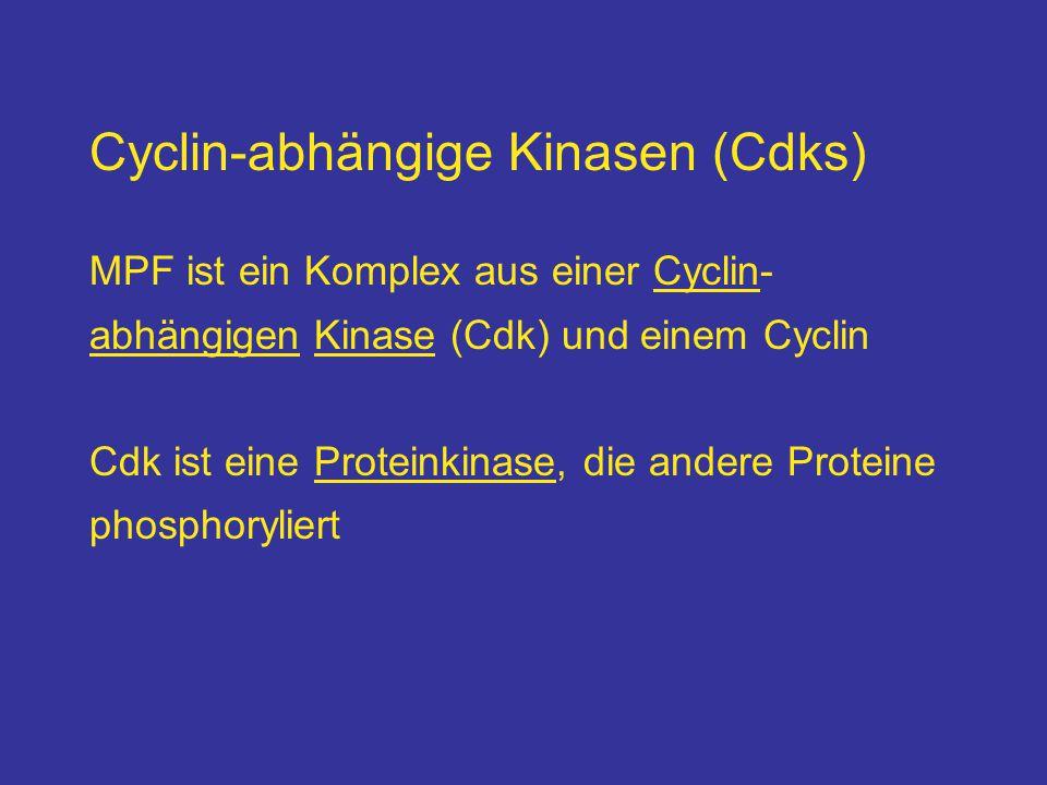 Cyclin-abhängige Kinasen (Cdks)