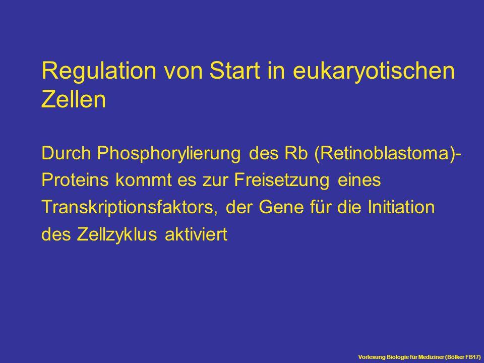 Regulation von Start in eukaryotischen Zellen