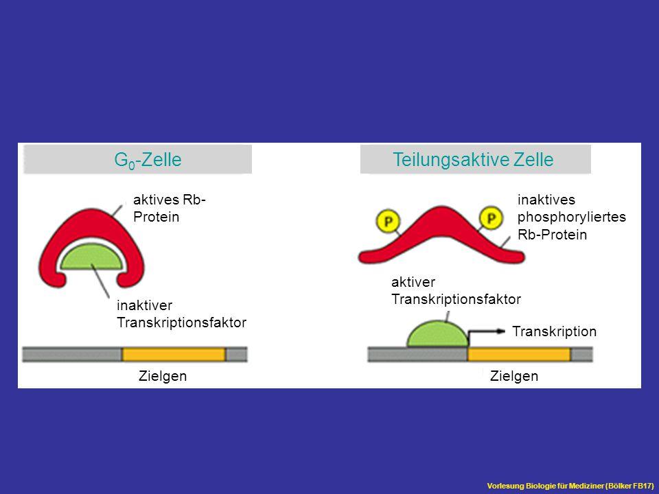 G0-Zelle Teilungsaktive Zelle aktives Rb- Protein inaktives