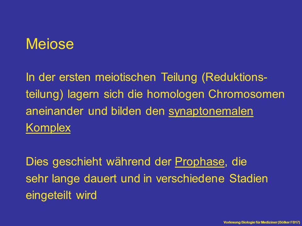 Meiose In der ersten meiotischen Teilung (Reduktions-