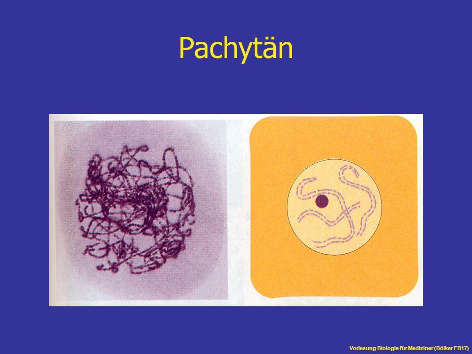 Pachytän Vorlesung Biologie für Mediziner (Bölker FB17)
