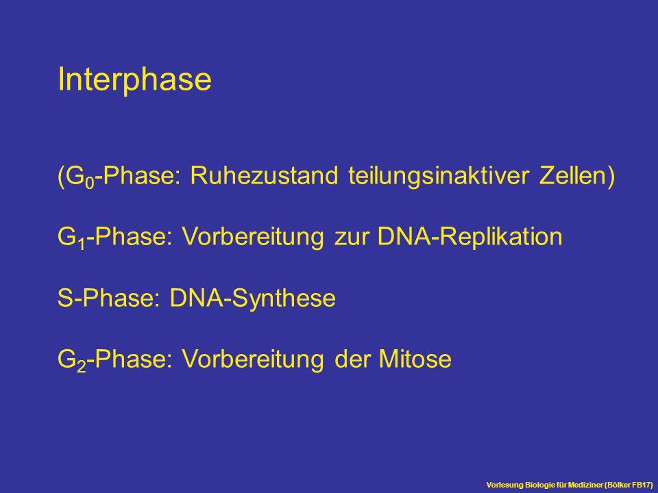 Interphase (G0-Phase: Ruhezustand teilungsinaktiver Zellen)