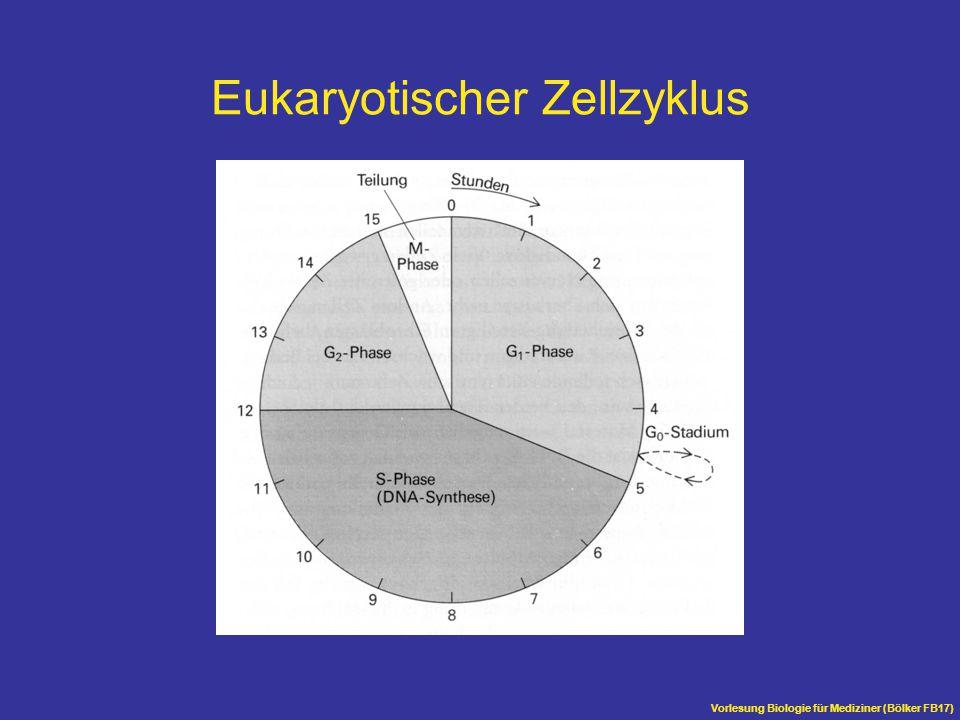 Eukaryotischer Zellzyklus