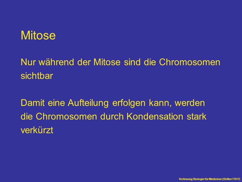 Mitose Nur während der Mitose sind die Chromosomen sichtbar