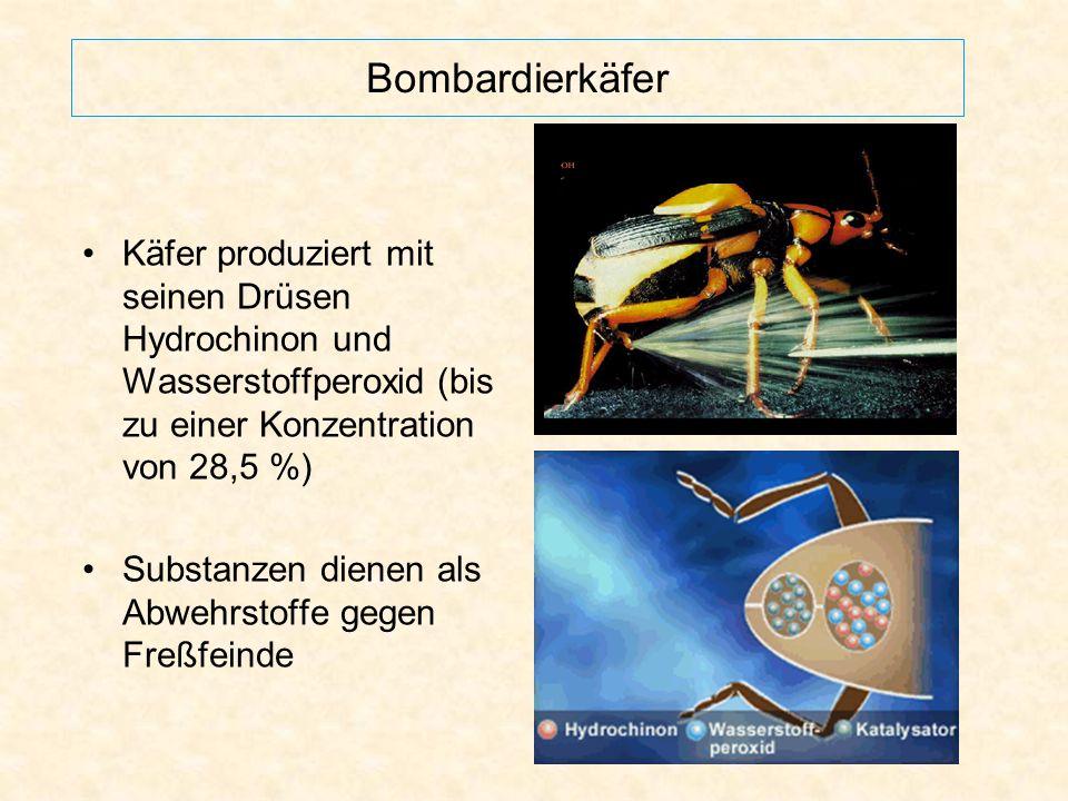 Bombardierkäfer Käfer produziert mit seinen Drüsen Hydrochinon und Wasserstoffperoxid (bis zu einer Konzentration von 28,5 %)