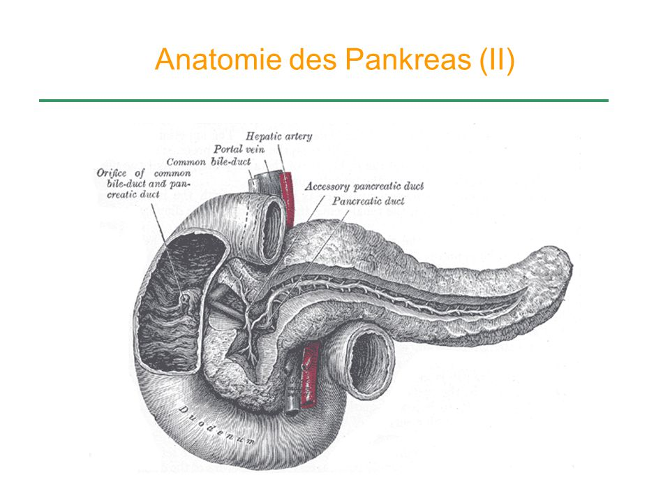 Anatomie des Pankreas (II)