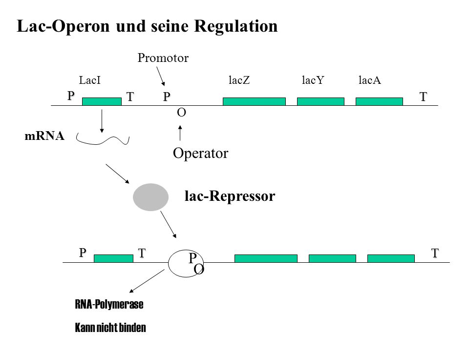Lac-Operon und seine Regulation