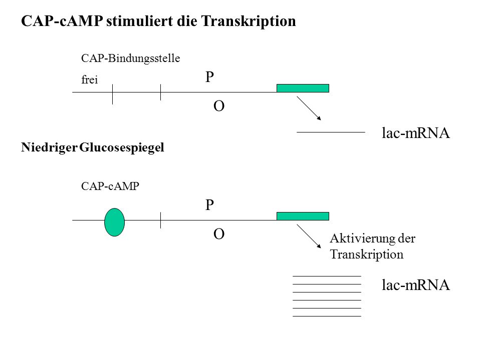 CAP-cAMP stimuliert die Transkription