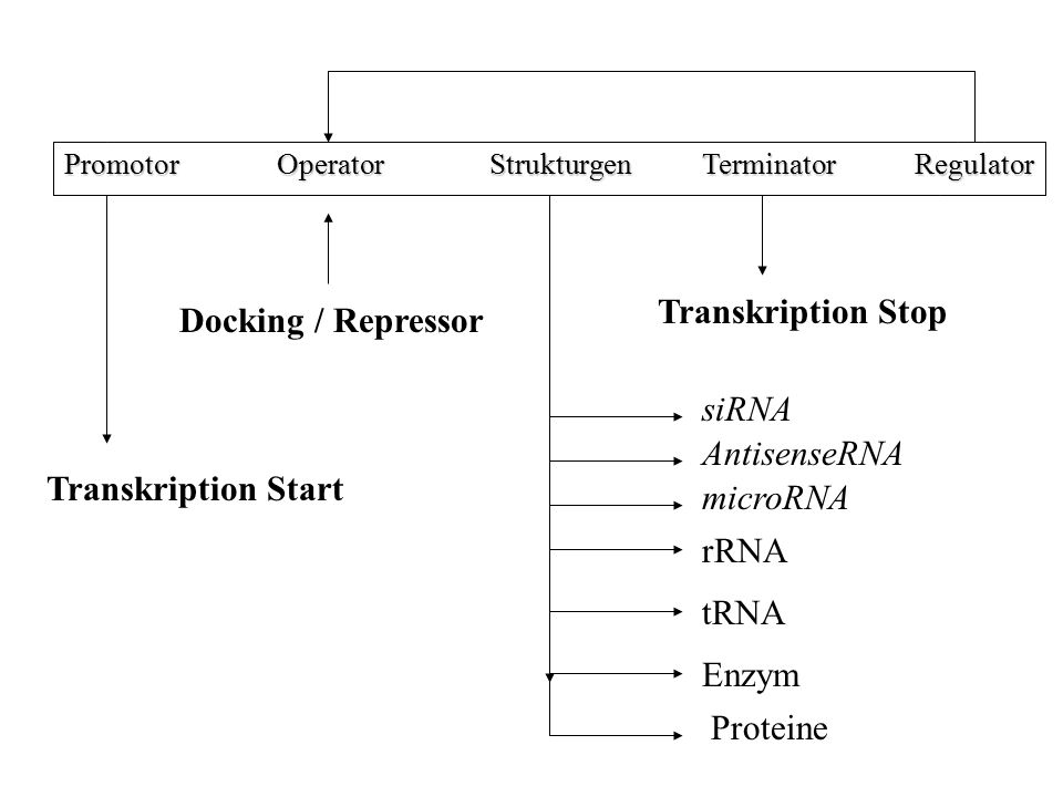 Transkription Stop Docking / Repressor siRNA AntisenseRNA