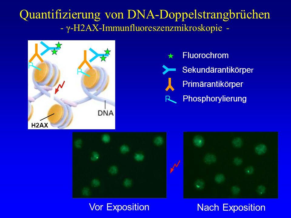 Quantifizierung von DNA-Doppelstrangbrüchen - γ-H2AX-Immunfluoreszenzmikroskopie -