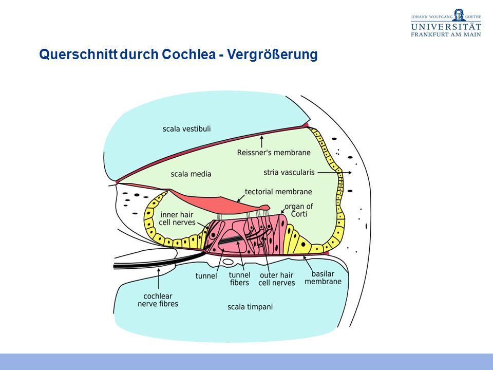 Querschnitt durch Cochlea - Vergrößerung