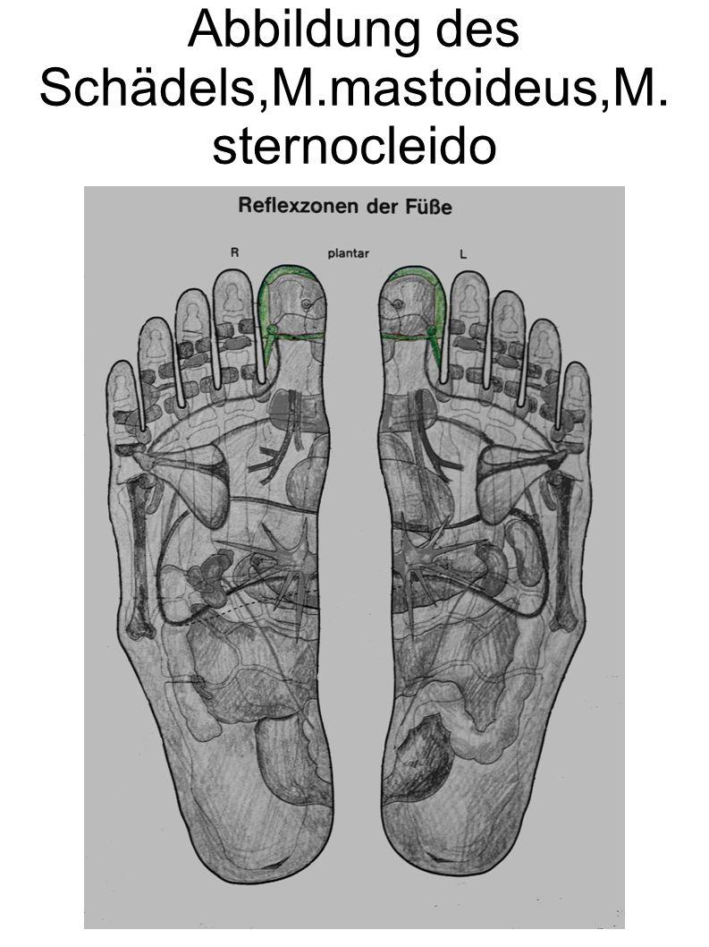 Abbildung des Schädels,M.mastoideus,M.sternocleido