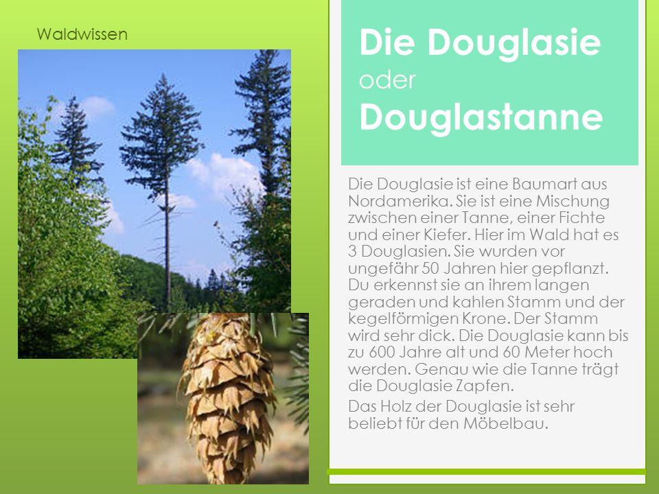 Die Douglasie Douglastanne oder