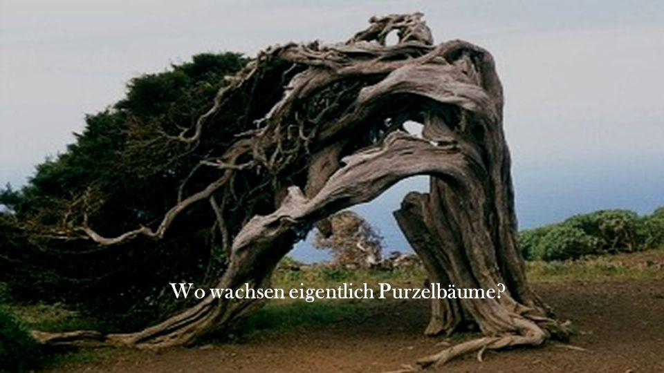 Wo wachsen eigentlich Purzelbäume