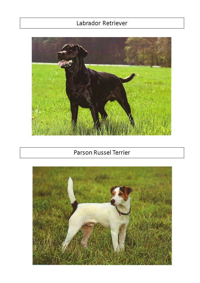 Labrador Retriever Parson Russel Terrier