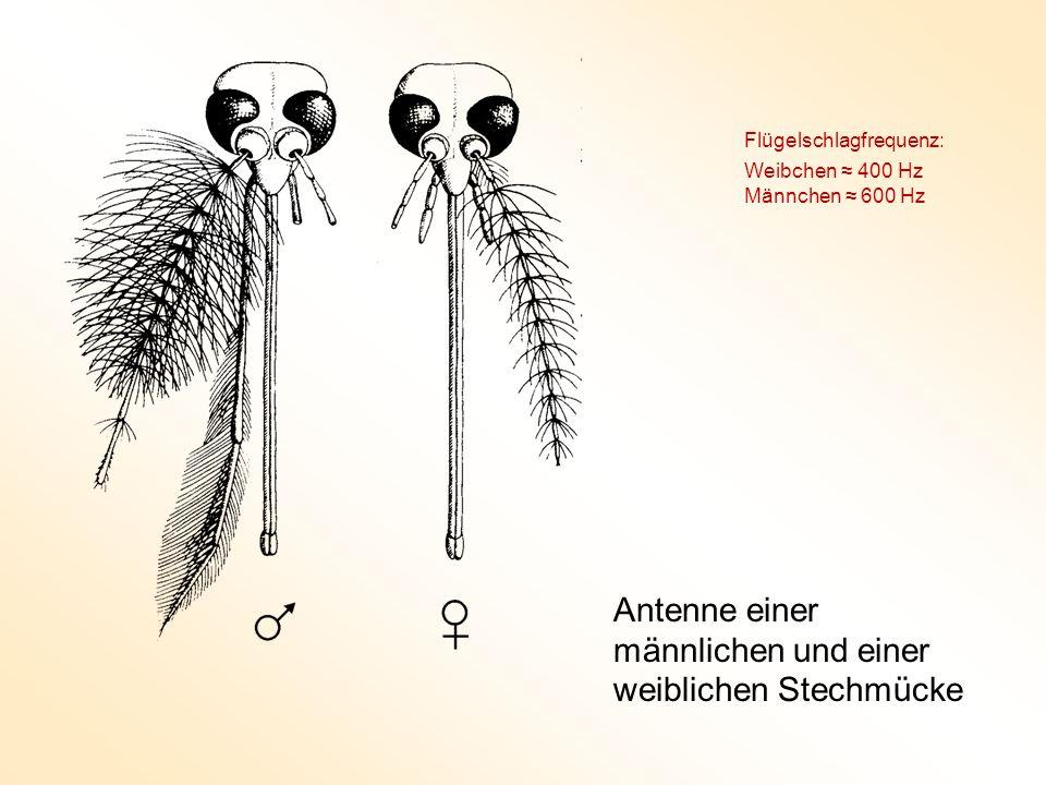 Antenne einer männlichen und einer weiblichen Stechmücke