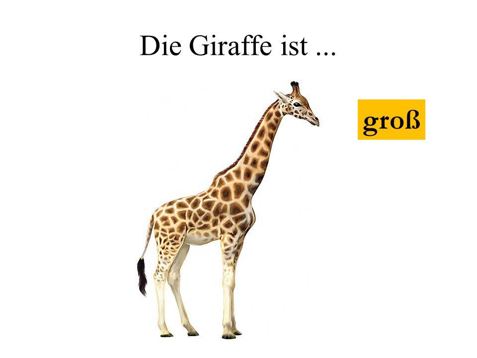 Die Giraffe ist ... groß