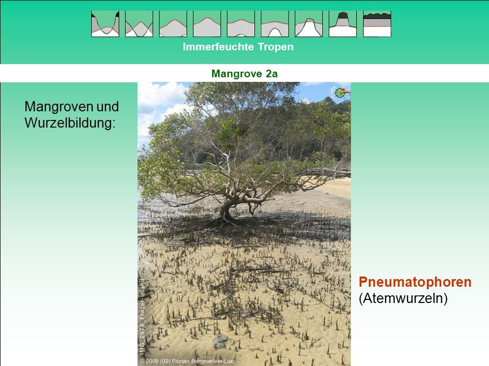 Mangroven und Wurzelbildung: