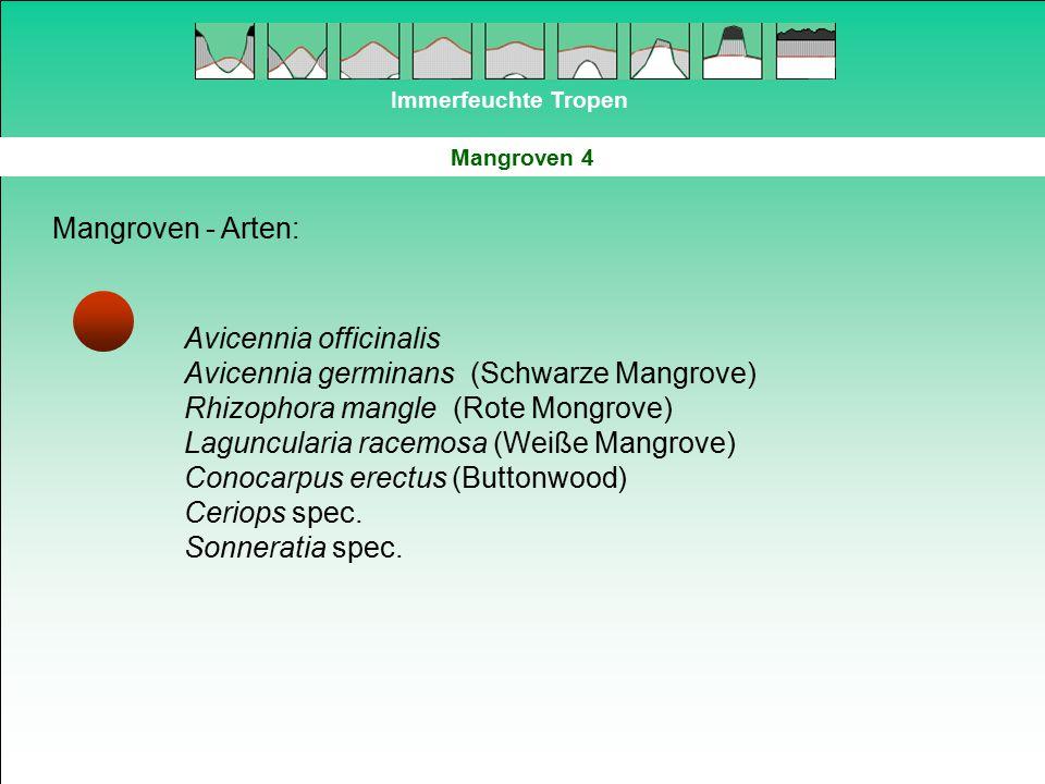 Avicennia officinalis Avicennia germinans (Schwarze Mangrove)