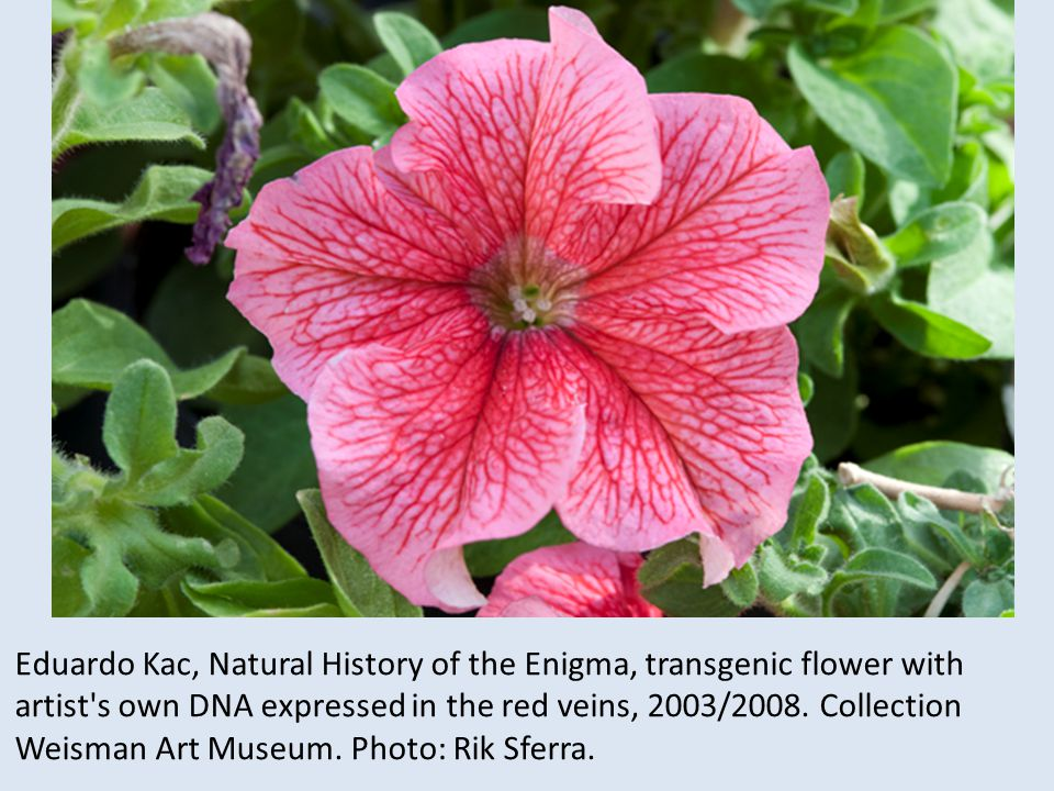 Eduardo Kac, Natural History of the Enigma, transgenic flower with artist s own DNA expressed in the red veins, 2003/2008.