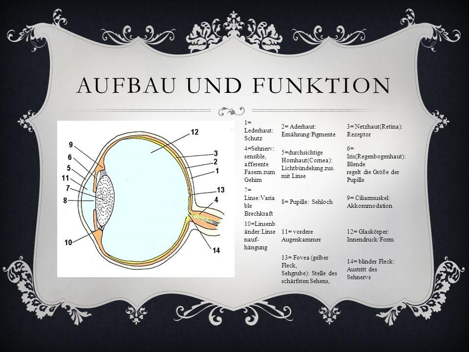 Aufbau und Funktion 1= Lederhaut: Schutz
