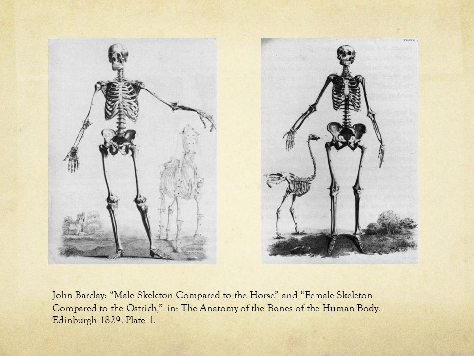 John Barclay: Male Skeleton Compared to the Horse and Female Skeleton Compared to the Ostrich, in: The Anatomy of the Bones of the Human Body.