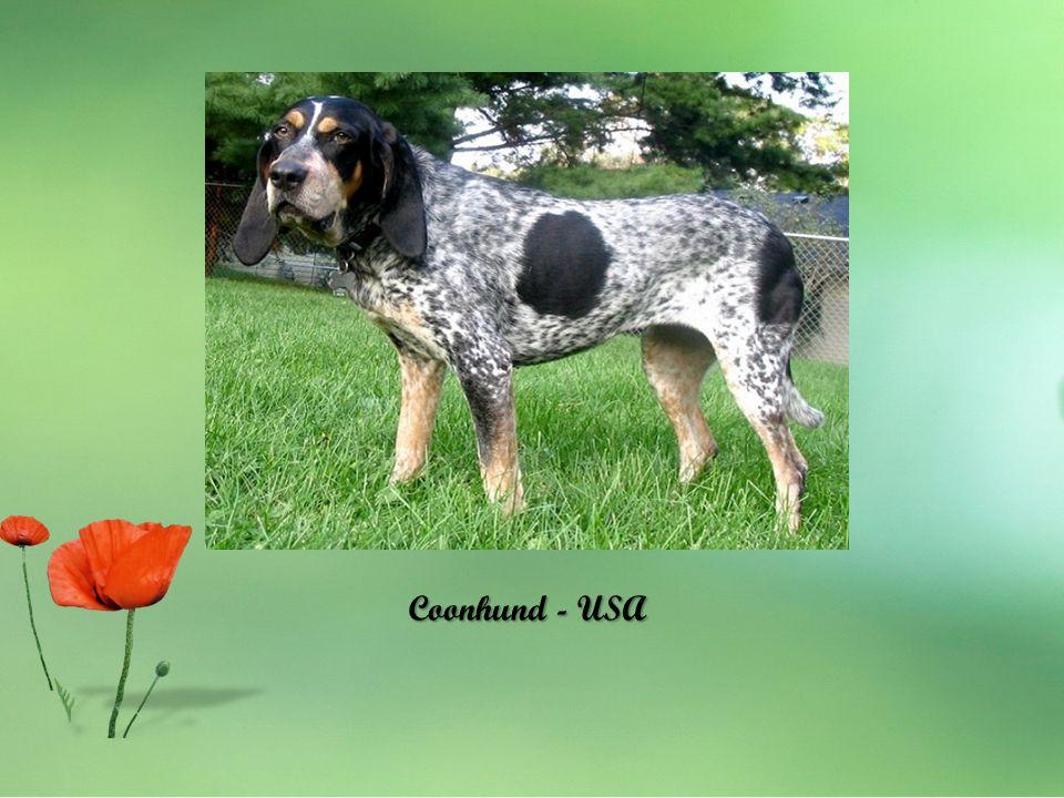 Coonhund - USA
