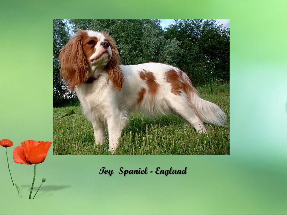 Toy Spaniel - England