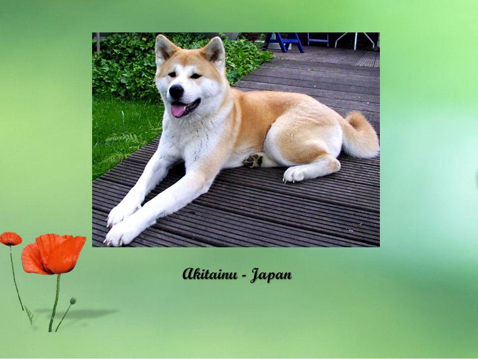Akitainu - Japan