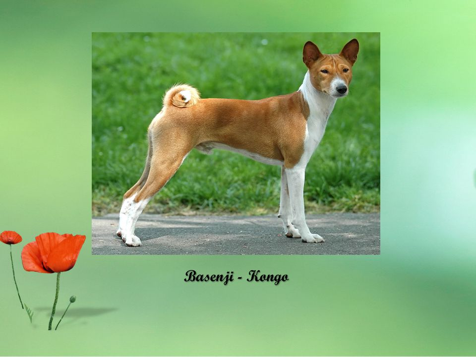 Basenji - Kongo